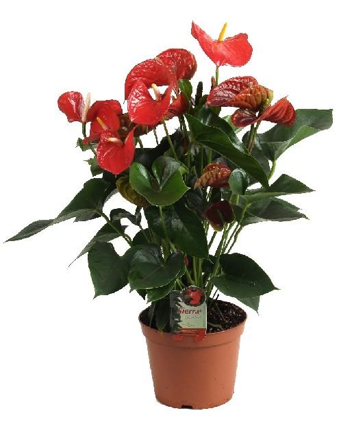 Горшечные цветы купить в новосибирске