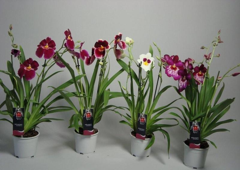 Орхидея Мильтония d=12, h=35 купить в Интернет-магазине в ...