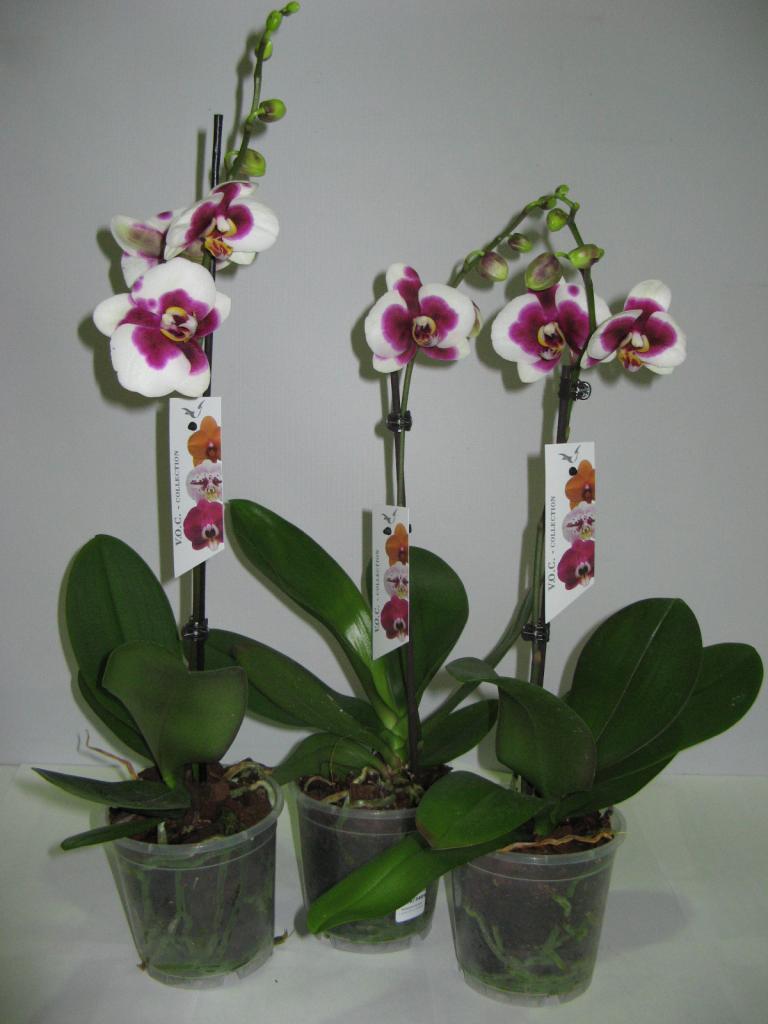 Орхидея купить новосибирск