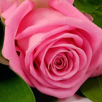 Фото роза пинк флойд фото